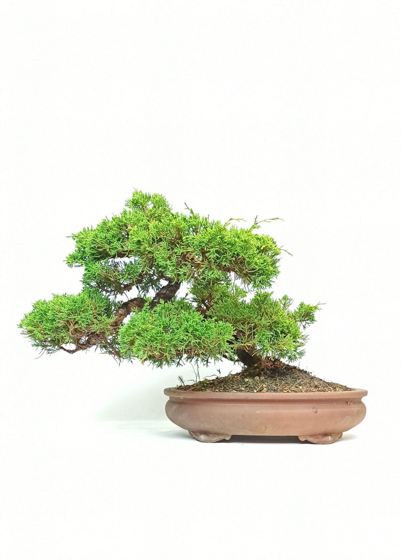 bonsai da esterno - Bonsaito